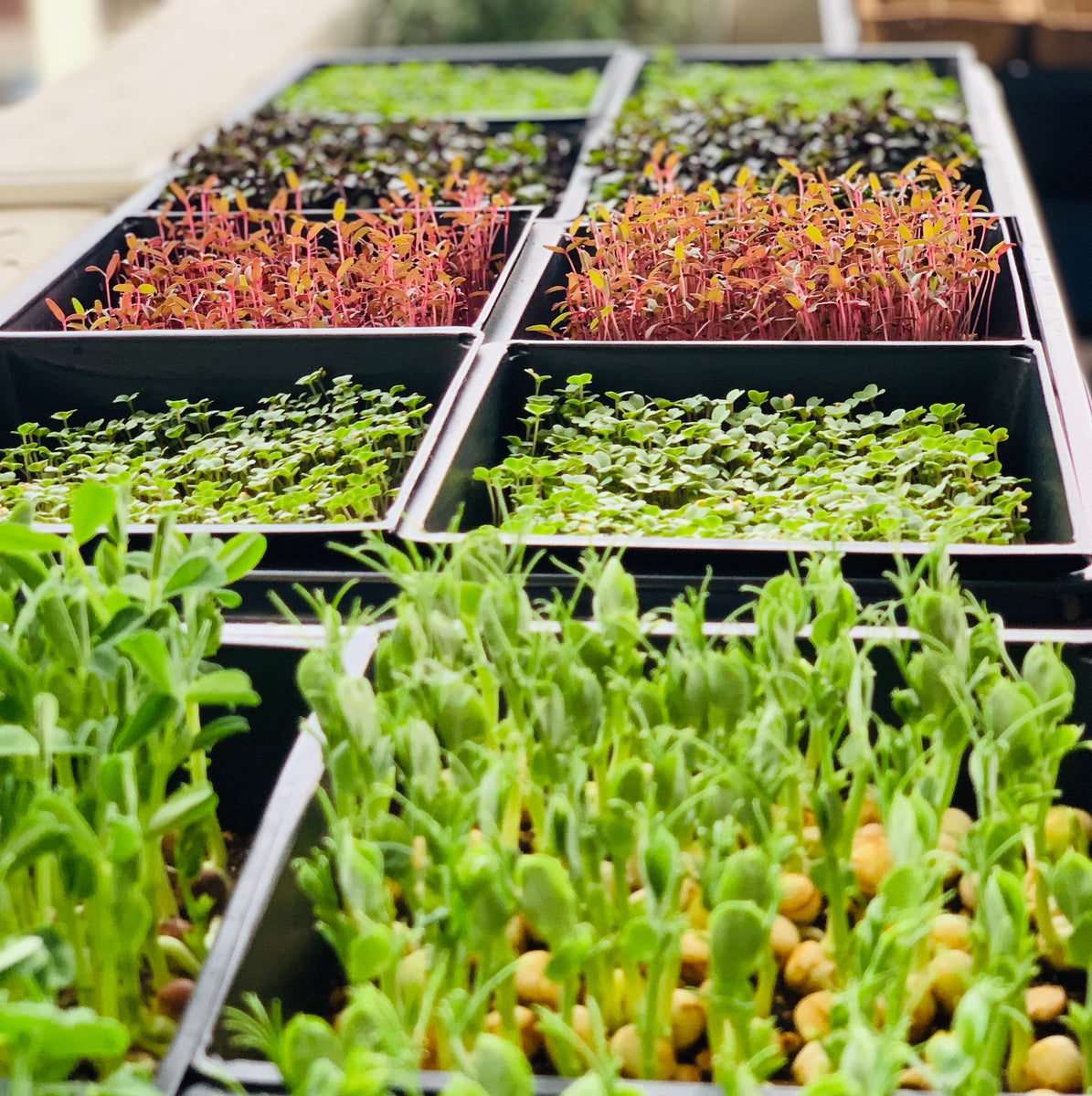 Singapore, Organic, gmo free, microgreen, vegetable seeds, grow edibles, farm edibles, grow edibles, workshop, untreated vegetable seeds, gardeners day out