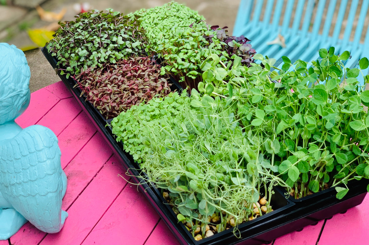 Earth day gifts, singapore, microgreens workshop, learn how to grow microgreens, earth day 2021, ethical, sustainable, environmentally friendly, employee engagement workshop, corporate workshops, singapore, lunch and learn workshops, grow edibles workshop