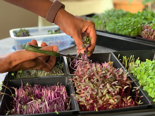 harvesting microgreens, singapore, everything green,