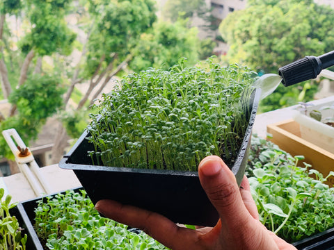 watering your microgreens, how to water microgreens, sprouts,