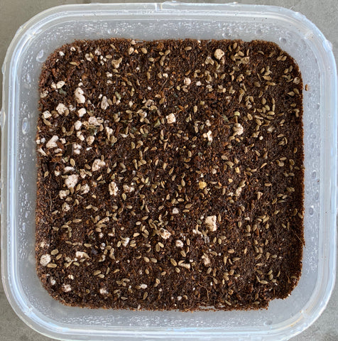 how to sow carrot seeds, microgreens, singapore, everything green