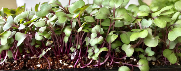 Red Cabbage Microgreen by Everything Green