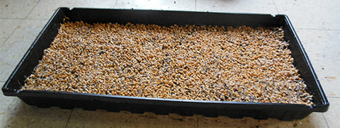 sow wheatgrass on tray, spread seeds for planting on tray,