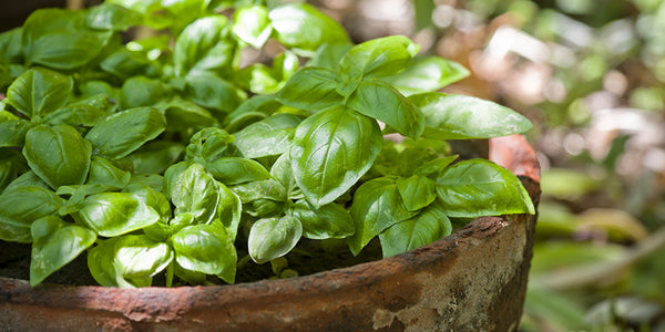 grow basil in singapore, problems growing basil,