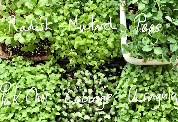 Troubleshooting microgreens