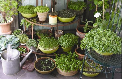 grow microgreens at home, everythinggreen, everything green, singapore