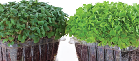 how to grow microgreens, singapore, what should i plant my microgreens in, can i plant my microgreens in, repurpose containers, repurpose plastic, recycle plastic