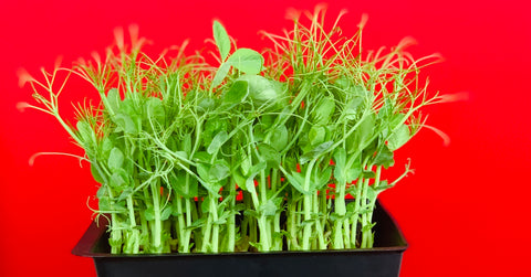 faq microgreens, about microgreens, what are microgreens, everything green, singapore, all about microgreens,