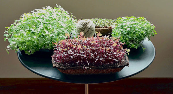 how to plant microgreens, Growing sustainable urban farm at home in singapore