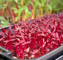 amaranth red seeds, singapore, everything green, organic, gmo free, buy, red spinach seeds, sabzi seeds, microgreens, sprouts