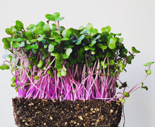 organic microgreen seeds, microgreens, indonesia, malaysia, singapore, everything green, urban farming, microgreens