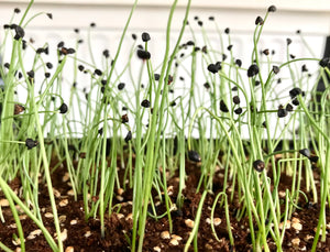 chives, organic microgreen onion seeds, sprouts, singapore, gmo-free vegetable seeds, small onion bulbs, chef approved, specialty crop, grow onions