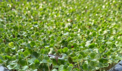 anti oxidant vegetables, brassica mix, sprouts, microgreens seed pack, brassica microgreens, brassica vegetables, vegetable seeds, cancer fighting food