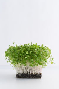 arugula microgreens, rocket microgreens, how to grow microgreens, singapore, everything green, gardeners day out, nparks, grow microgreens singapore,