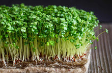 cauliflower microgreen seeds buy singapore
