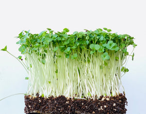 microgreen seeds, Indonesia, microgreen gift packs, kale microgreen, singapore, everything green