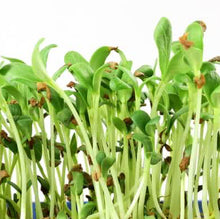 EverythingGreen Organic Fenugreek Microgreen Seeds For Sale Singapore