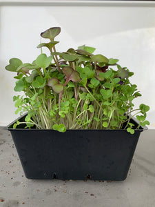 Spicy Mix Microgreen Salad Seed Pack - Good For Multiple Sowings