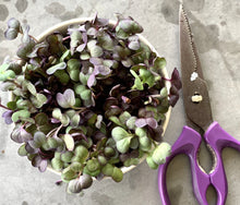 sango radish, vulcana radish, singapore, microgreens, seeds, organic, everything green, radish microgreens