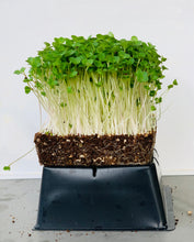 Brassica Mix Organic Microgreens Seeds