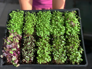 urban farming singapore, singapore microgreen starter kit, gardening starter kit, mothers day garden starter kit, singapore, gardening gifts for mothers day, mothers day gift ideas, singapore, everything green,