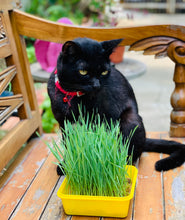 wheatgrass seeds for cats, singapore, buy, organic, grow wheatgrass for cats, cats digestion, what helps cats digestion, how to cure cats digestion problem,