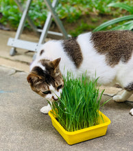 Cat Wheatgrass - Organic Wheatgrass Starter Kit