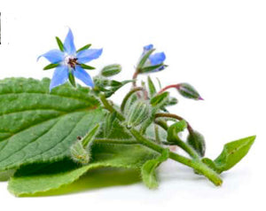 borage herb, borage seeds, edible flower borage, grow, plant, singapore, everythinggreen