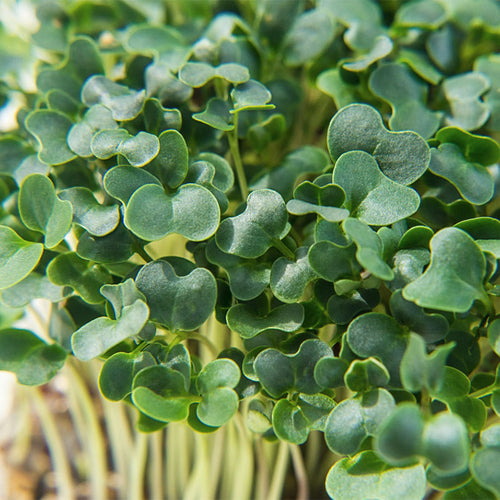 Kale Microgreen Sprout Seeds Pack - Good For Multiple Sowings