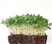 buy certified organic green kale, red russian kale, curly kale, microgreen seeds in indonesia, malaysia.