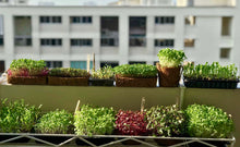 Deluxe Microgreens Starter Kit - The Perfect Christmas Gift For The Gardening Enthusiast