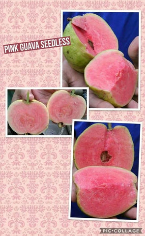 Seedless Pink Guava - Malaysia Online Plant Nursery