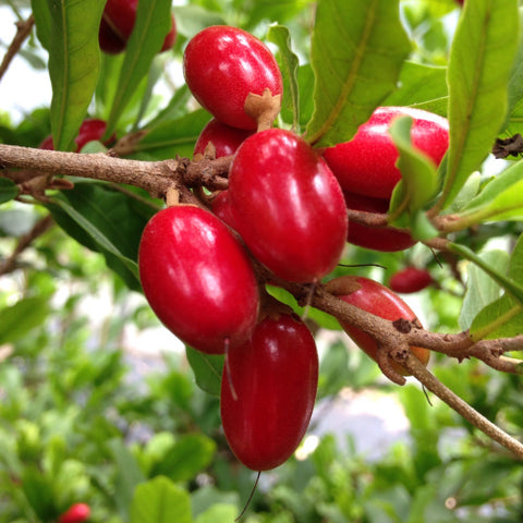 Buy Miracle Fruit Tree in Nurserykebunbandar.com Now!