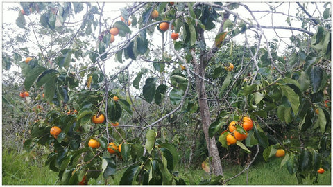 The persimmon is the edible fruit of a number of species of trees in the genus Diospyros. The most widely cultivated of these is the Oriental or Japanese persimmon, Diospyros kaki.