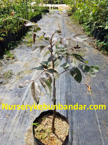 How to grow longan trees – Malaysia Online Plant Nursery
