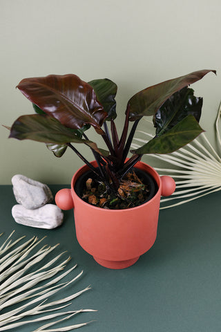 Philodendron Black Cardinal - Malaysia online plant nursery