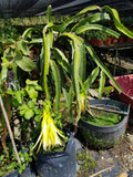 Yellow Dragon Fruit - Malaysia Online Plant Nursery