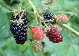 Blackberry Tree (Normal Variety) - Malaysia Online Plant Nursery