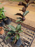 Red Guava Tree - Malaysia Online Plant Nursery
