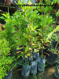 Miracle Fruit Tree - Malaysia Online Plant Nursery