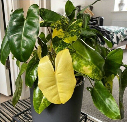 PHILODENDRON BURLE MARX VARIEGATED - Malaysia Online Plant Nursery