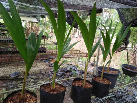 Sweet Skin Coconut (Skin is edible like sugarcane) - Malaysia Online Plant Nursery