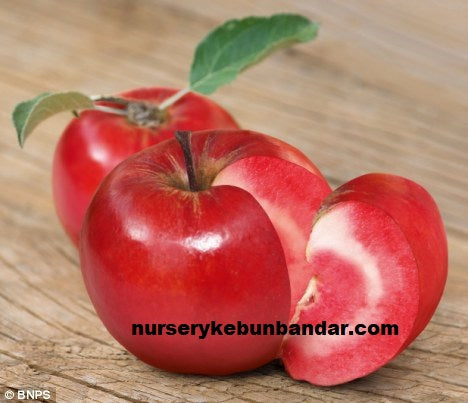 Apple Red love Tree - Malaysia Online Plant Nursery