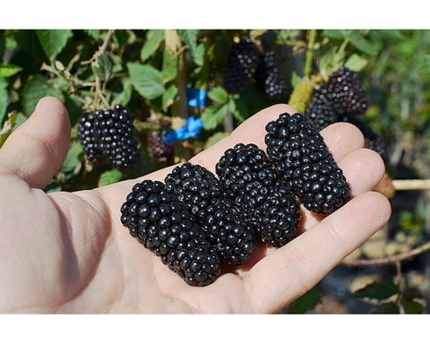 Black Beauty Blackberry (USA) - Malaysia Online Plant Nursery