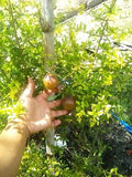 Indian Pomegranate (Delima) - Malaysia Online Plant Nursery