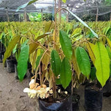 Durian Monthong Tree - Malaysia Online Plant Nursery