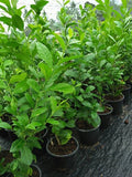 Australia Long Lemon Tree - Malaysia Online Plant Nursery