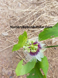 Red passion Fruit (Markisa) - Malaysia Online Plant Nursery