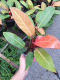Philodendron prince of orange