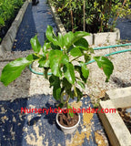 Seedless Avocado (rare and new hybrid variety) - Malaysia Online Plant Nursery